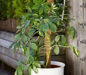 Tuteur pour plante en coco